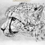 Study of Portrait Head Cheetah