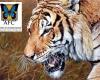 Original painting by Alan M. Hunt title Royal Bengal Tiger
