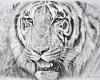 Original pencil sketch by Alan M. Hunt title portrait of Tiger